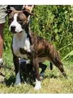 American Staffordshire Terrier Lady