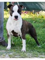 American Staffordshire Terrier, amstaff - Femmine, Miami (ataxia Clear by Parental)