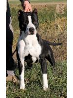 American Staffordshire Terrier Cobain (Ataxia Carrier)