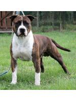 American Staffordshire Terrier, amstaff - Bred-by, Billy