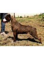 American Staffordshire Terrier Piuma (Ataxia Clear By Parental)