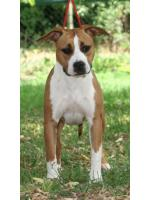 American Staffordshire Terrier Diva