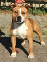 American Staffordshire Terrier, amstaff - Bred-by, Ettore (Ataxia Clear By Parental)