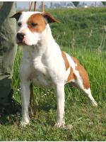American Staffordshire Terrier, amstaff - Bred-by, Pepper (Ataxia Clear) HD-A ED-0
