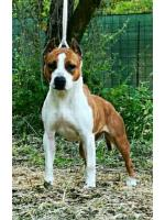 American Staffordshire Terrier, amstaff - Bred-by, Bella (Ataxia Clear By Parental)