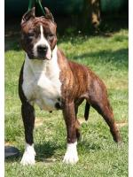 American Staffordshire Terrier Chica (Ataxia Clear)