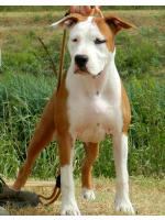 American Staffordshire Terrier Apple