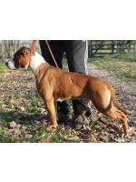 American Staffordshire Terrier, amstaff - Bred-by, Judy