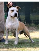 American Staffordshire Terrier Homer (Ataxia Clear By Parental)