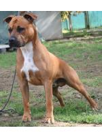 American Staffordshire Terrier, amstaff - Bred-by, Ringo