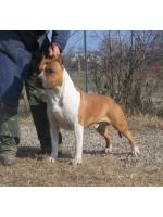 American Staffordshire Terrier Doc