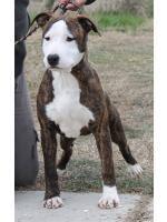 American Staffordshire Terrier, amstaff - Bred-by, Hazel (Ataxia clear by Parental) HD-A ED-0 Cardio Normal