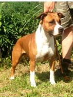 American Staffordshire Terrier, amstaff - Bred-by, Thess (Ataxia Clear)