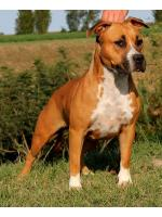 American Staffordshire Terrier, amstaff - Bred-by, Alaska (Ataxia Clear By Parental)