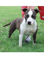 American Staffordshire Terrier Baby