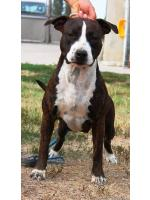 American Staffordshire Terrier, amstaff - Bred-by, Kim (Ataxia Clear By Parental)