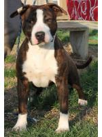 American Staffordshire Terrier Gleen (Ataxia Clear By Parental)