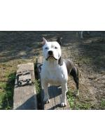 American Staffordshire Terrier Minny