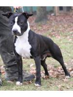 American Staffordshire Terrier, amstaff - Bred-by, Nietzsche (Ataxia Clear By Parental)