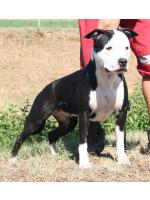 American Staffordshire Terrier Minnie