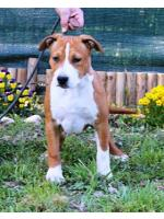 American Staffordshire Terrier, amstaff - Bred-by, Steve