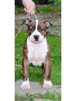 American Staffordshire Terrier, amstaff - Bred-by, Ruben (Ataxia  Clear By Parental)