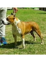 American Staffordshire Terrier, amstaff - Bred-by, Charlie (Ataxia Clear)