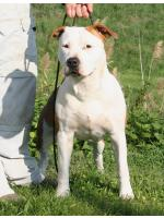 American Staffordshire Terrier, amstaff - Bred-by, Diva (Ataxia Clear by Parental)