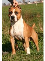 American Staffordshire Terrier, amstaff - Males, Speed (Ataxia Clear)