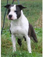 American Staffordshire Terrier, amstaff - Bred-by, Alyssa (Ataxia Carrier)