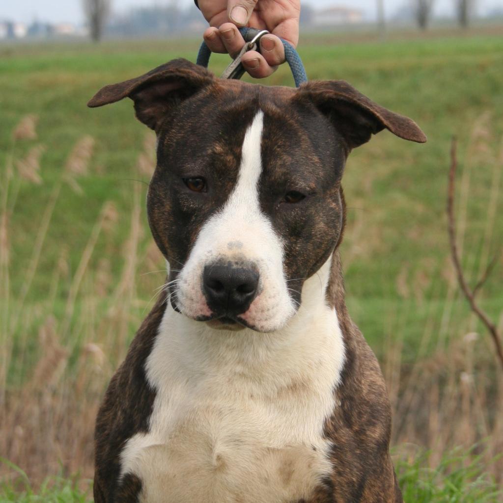 Bull Terrier Cuccioli Pedigree | Dog Breeds Picture
