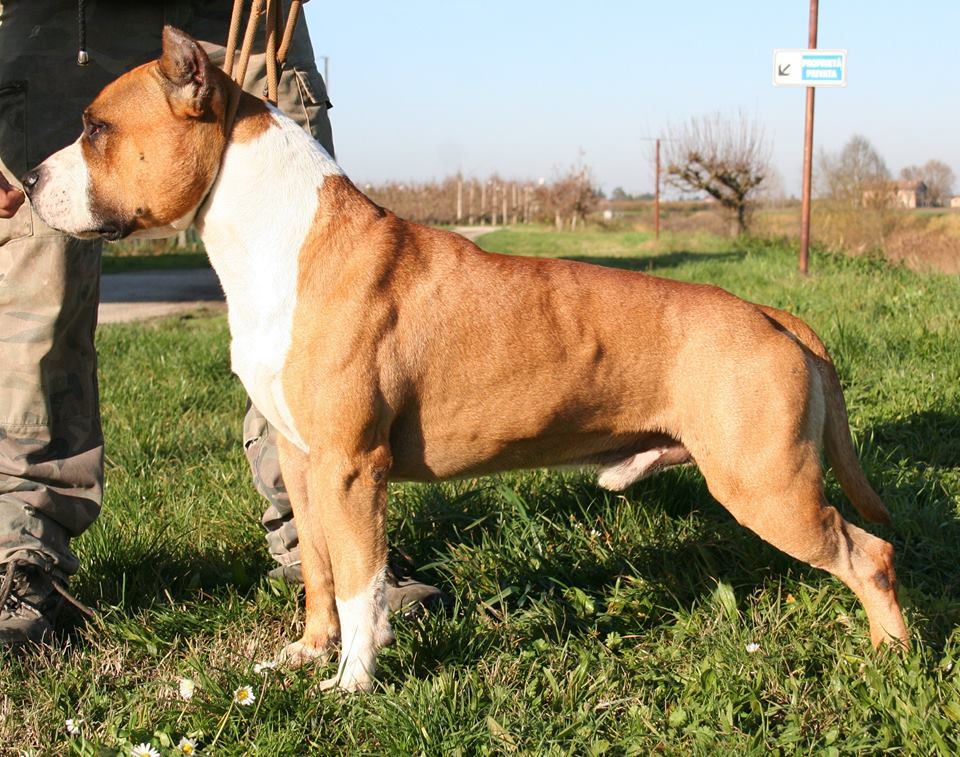 Akc American Staffordshire Terrier Males | Dog Breeds Picture