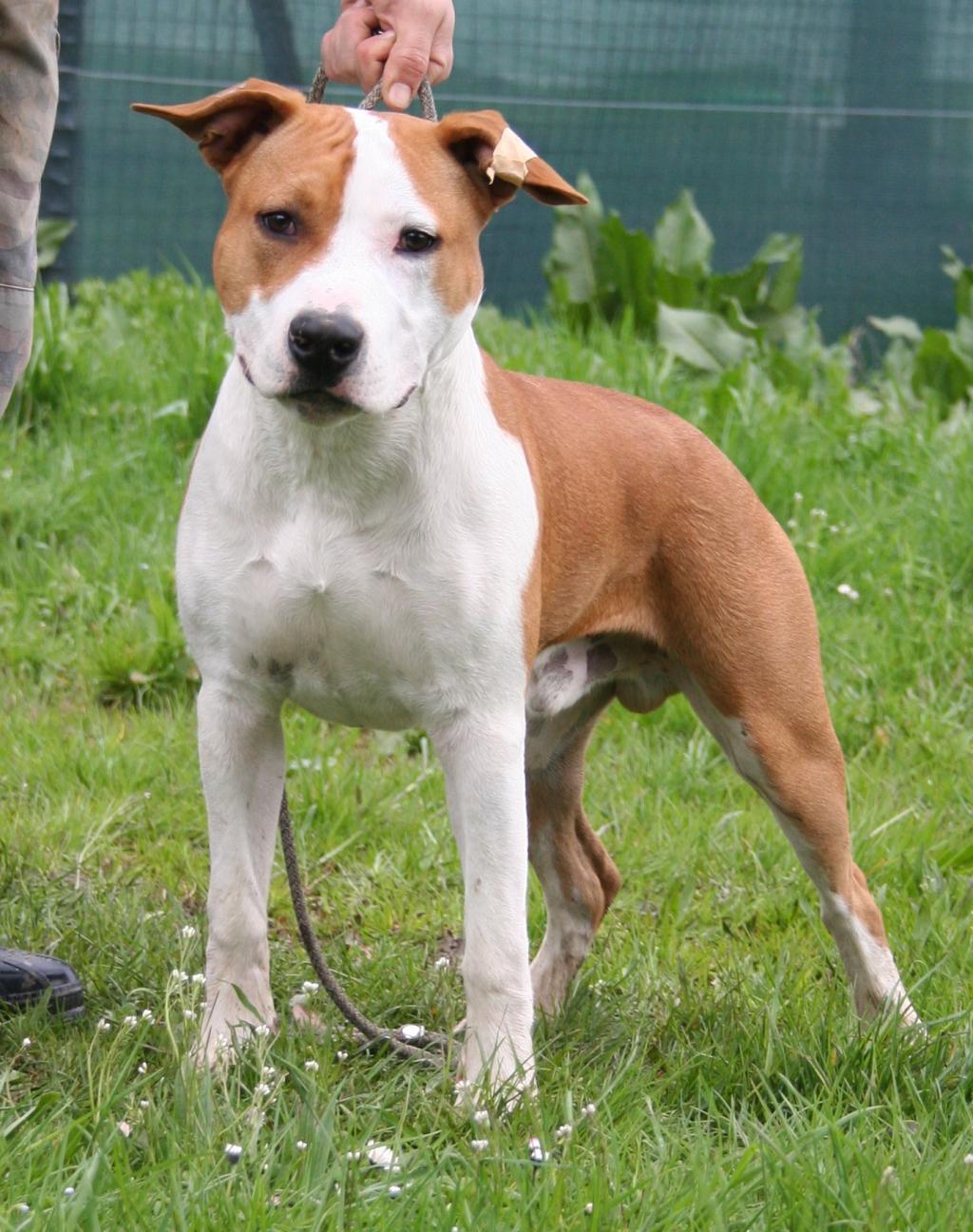 Amstaff Staffordshire Terrier....