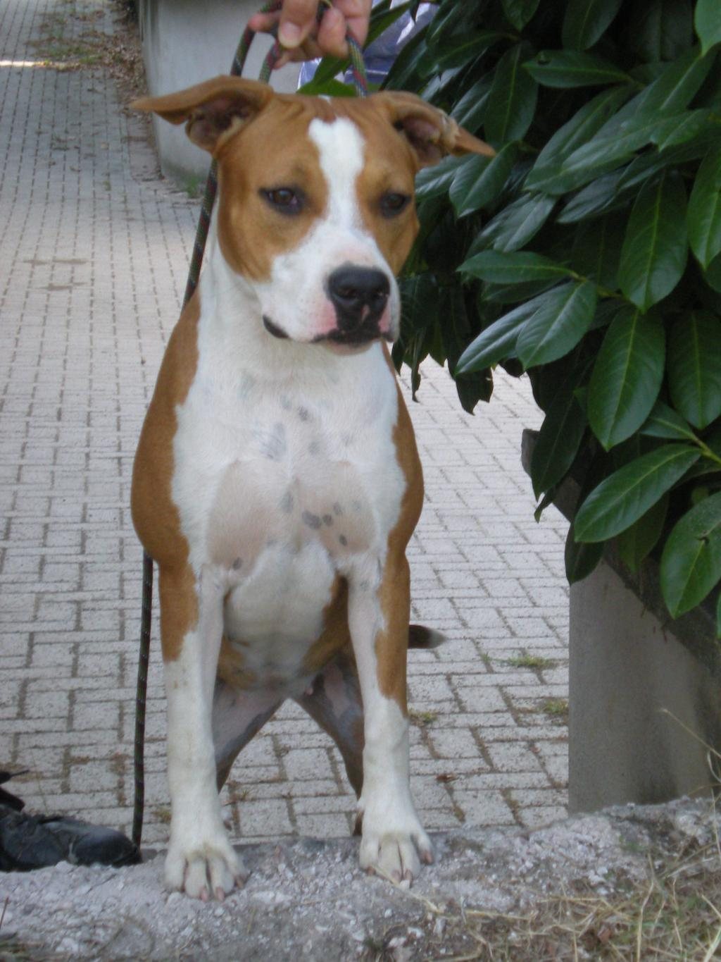 American Staffordshire Terrier Thelma  AtaxiaClear on 879 html