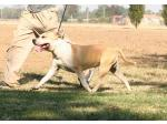 AMSTAFF Homer (Ataxia Clear By Parental)