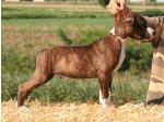 AMSTAFF Tobi (Ataxia Clear By Parental)