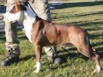 AMSTAFF Gold (Ataxia ClearBy Parental)