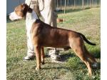 AMSTAFF Sonny (Ataxia Clear By Parental)
