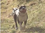 AMSTAFF Obelix (Ataxia Clear By Parental)