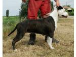 AMSTAFF Buzzy (Ataxia Clear by Parental)