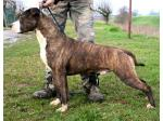 AMSTAFF Twist (Ataxia Clear By Parental)