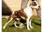 AMSTAFF Caio(Ataxia Clear By Parental)