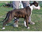 AMSTAFF D'artagnan (Ataxia Clear by Parental)