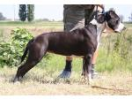 AMSTAFF  Kaysie (Ataxia Clear by Parental)