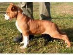 AMSTAFF Jago (Ataxia Clear By Parental)