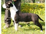 AMSTAFF Big Mama (Ataxia Clear By Parental)