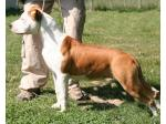 AMSTAFF Minnie (Ataxia Clear By Parental)