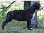 AMSTAFF Antoine (Ataxia Clera By Parental)