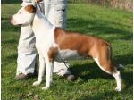AMSTAFF Diva (Ataxia Clear by Parental)