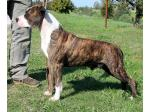 AMSTAFF Macho (Ataxia Clear By Parental)